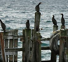 Great Cormorant at the pier by Frank Olsen