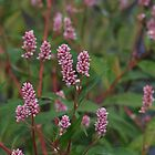 Long- bristled Smartweed - Polygonum caespitosum  by Tracy Faught