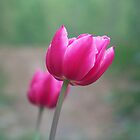 Pink Tulip by James Brotherton