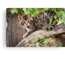 Tiger in a Tree Canvas Print