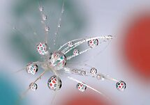 Dandelion explosion by Lyn Evans