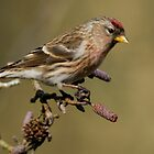 redpoll but which one? by Grandalf