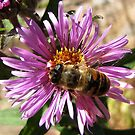 Drone(hover) fly on Aster by hummingbirds