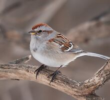 Tree Sparrow - Ottawa Ontario by Stephen Stephen