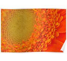 Orange Gerbera Daisy, As Is Poster