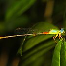 Bicolor Damsel by the Pond by kulinti