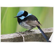Superb Blue Wren Poster