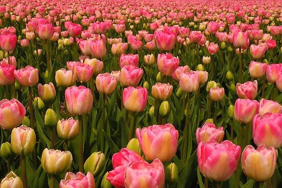 Candy Tulips by Jo Nijenhuis
