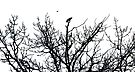 Crows and Tree - Ottawa Ontario by Debbie Pinard