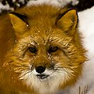 Red Fox by Sue Ratcliffe