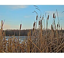 Cattails at Skymount Pond, PA Photographic Print