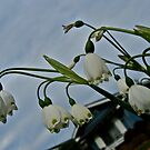Snowdrops by Svetlana Day