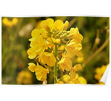 Mustard Flower  Poster