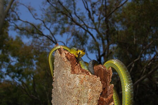 Green Tree Snake 2 by NickBlake