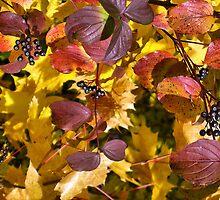 Elderberries by Roz Rayner-Rix
