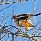 Red-tailed Hawk Shacking its Tail Feathers  by Chuck Gardner