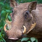 Warthog  (Phacochoerus africanus) by Chris Westinghouse