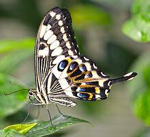 A Emperor Swallowtail by Judy Grant