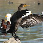 Double-crested Cormorant by Kimberly P-Chadwick