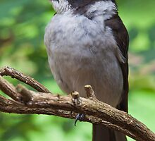 Grey Butcher Bird by Gary  Davey (Jordy2010)