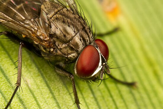Diptera by Jason Asher