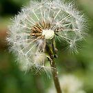 Wild Dandelion by Melissa Park