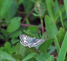 Tropical Checkered Skipper on a leaf by Ben Waggoner