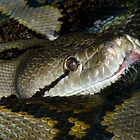 Reticulated Python Closeup by Robert Miesner