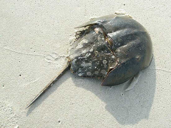 Horseshoe Crab (Limulus polyphemus) by MotherNature
