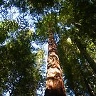 Giant Redwoods  by the57man