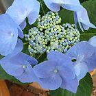 Blue Hydrangea by joycee