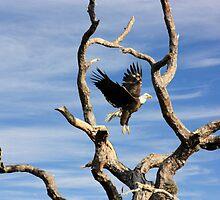 WELL FRAMED BALD EAGLE by TomBaumker