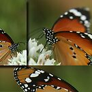 "Butterfly Triptych... ""Danaus chrysippus (African monarch)"" Free State, South Africa by Qnita"