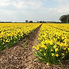 Flowering Daffodils Fields by steppeland