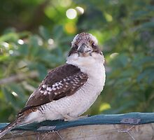 Kookaburras Breakfast - 4 0f a series of 10 pictures Bowen North Queensland by Leigh McGree