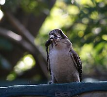Kookaburras Breakfast -2 0f a series of 10 pictures Bowen North Queensland by Leigh McGree