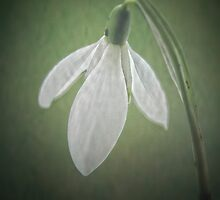 Snowdrop by Karen  Betts