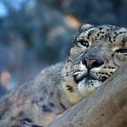 Snow Leopard Snooze by TangledWood