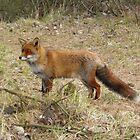 Beautiful  fox by angeljootje