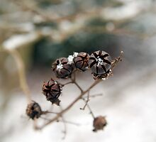Snowkiss'd Crepe Myrtle by WalnutHill