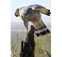 Gray Hawk  Photographic Print