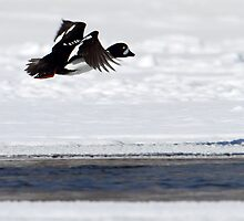 Barrows Goldeneye In Flight by Gary Fairhead