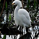 Snowy Egret by Dennis Stewart
