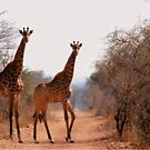 ELEGANT OR NOT? - Giraffa camelopardalis by Magaret Meintjes