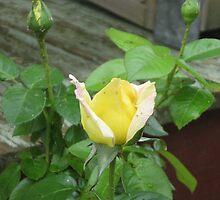 yellow bud dazzler by sueg