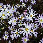Mauve Daisys at Meelup by Leonie Mac Lean