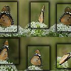 Butterfly Collage... &quot;Danaus chrysippus (African monarch)&quot; by Qnita