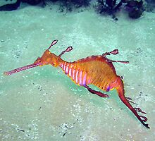 Terrigal Weedy Sea Dragon  by Matt-Dowse