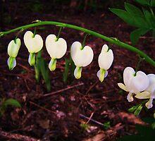 White Bleeding Hearts by eyeland