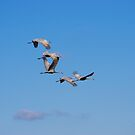 Sandhill Cranes in Flight by Molly  Kinsey